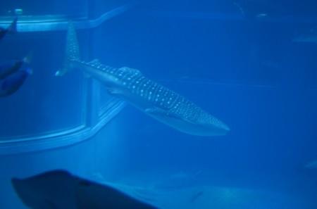 stinkythepig japan 6 Medium 450x297 Whale Sharks